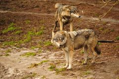 волк волчанки canis серый стоковая фотография rf