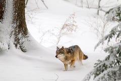 волк волчанки canis стоковые фото