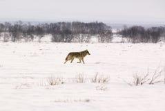 волк волчанки canis albus приполюсный Стоковые Изображения