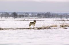 волк волчанки canis albus приполюсный Стоковое Изображение RF