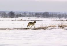 волк волчанки canis albus приполюсный Стоковая Фотография