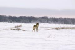 волк волчанки canis albus приполюсный Стоковое Фото