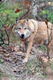 Волк в лесе осени стоковое изображение rf