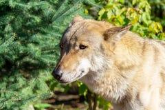 Волк в пуще стоковая фотография