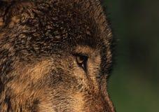 волк глаза Стоковые Изображения