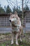 волк, дикое животное, серый волк, зверь стоковая фотография