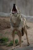 волк завывать Стоковое Изображение