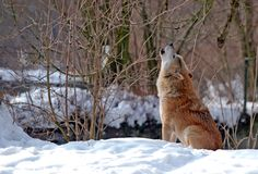 волк завывать Стоковая Фотография