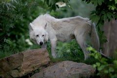 Волк залива Гудзона стоковые фотографии rf
