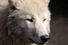 Волк залива Гудзона Стоковое Фото