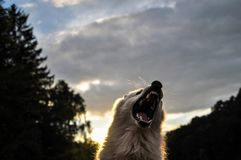 Волк зверя завывая в установке леса и зубах показа стоковые фотографии rf