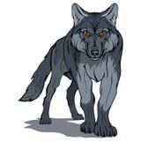 Волк, изолированный на белых предпосылке, иллюстрации цвета, соответствующих как логотип или талисман команды, опасный хищник лес иллюстрация штока