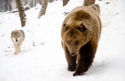 Волк и медведь. Стоковые Фото