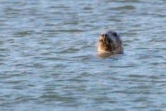 волк моря 2 Стоковые Фото