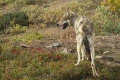 волк национального парка denali Аляски Стоковая Фотография