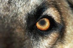 волк нормального глаза стоковые изображения