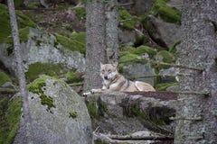 Волк отдыхая на утесе стоковая фотография