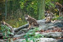 волк пакета стоковые изображения