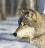 волк профиля Стоковое фото RF