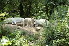 волк семьи s Стоковое фото RF