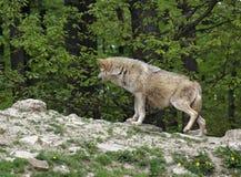волк серого холма малый стоковое изображение