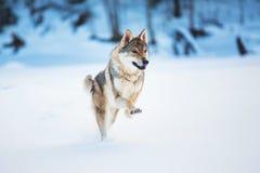 Волк серого цвета, волчанка волка бежать на направлении камеры в луге на снеге стоковое фото