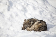 волк сна Стоковые Изображения