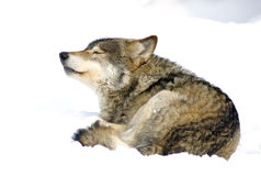 волк снежка Стоковые Изображения
