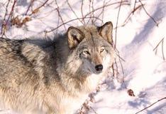 волк стороны Стоковая Фотография