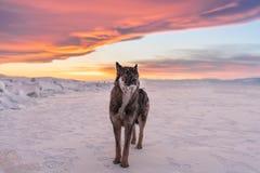 Волк стоя на снеге в заходе солнца на замороженном Lake Baikal в России Стоковое фото RF