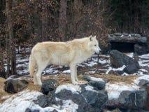 Волк стоя перед его вертепом исследует домена на международном центре волка Стоковые Фотографии RF