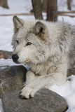 волк тимберса ii Стоковая Фотография