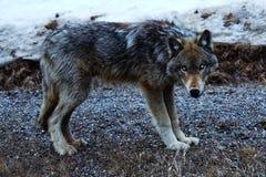 волк утеса moutain Стоковое Изображение RF