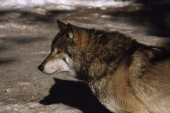 волк стоковые изображения rf