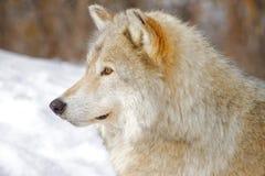 волк стоковое фото