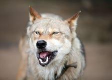 волк Стоковое Изображение