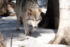 волк Стоковые Фотографии RF