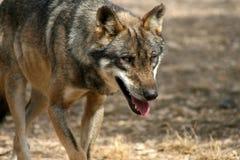 волк 2 Стоковое Фото