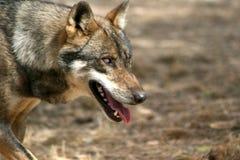 волк 3 Стоковые Изображения