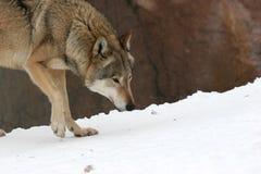 волк Стоковые Фото