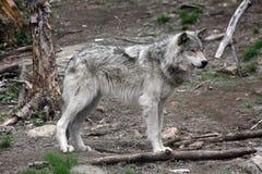 волк 5 Стоковые Изображения