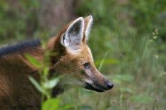 волк chrysocyon brachyurus maned Стоковые Фотографии RF