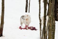 волк prey Стоковая Фотография RF