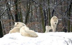 волк tundrorum волчанки canis приполюсный Стоковые Изображения RF