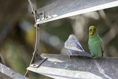 Волнистый попугайчик на старой стальной ветрянке стоковое изображение rf