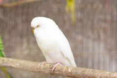 Волнистый попугайчик спать белый Стоковое Изображение