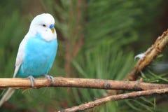 Волнистый попугайчик Стоковые Фотографии RF