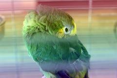 Волнистый попугай в клетке стоковое фото