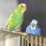 2 волнистых попугая сидят на клетке стоковая фотография rf