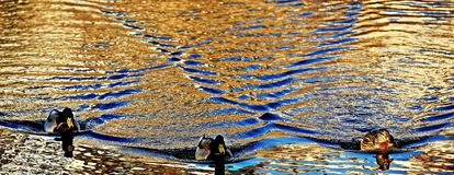 Волны на поверхности воды и 3 утках стоковое фото rf